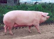 Продаем свинину живок