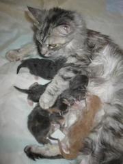 Мейн-кун котята предлагаются к резервированию.