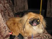 Продается собака,  порода пекинес